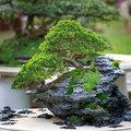 Bonsai - groen in elke ruimte