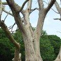 Fraxinus excelsior in nood - essenziekte