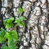 Hedera helix als bodembedekker of haagplant
