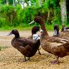 Bescherm jouw pluimvee tegen vogelgriep