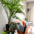 Kamerplant van de week - Inge stelt voor: de Kentiapalm