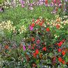 Een zomer lang genieten van Salvia
