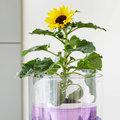 Sunsation: Potzonnebloem voor vrolijke zomer