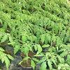 Tomaten zaaien, verspenen en afharden