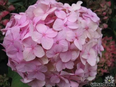 foto Hydrangea macrophylla