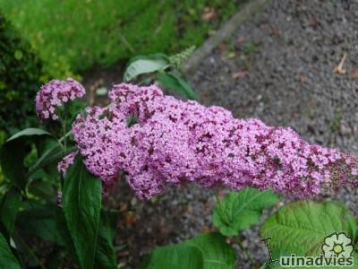 Foto van Buddleja davidii 'Pink Delight' - vlinderstruik