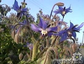 foto Borago officinalis