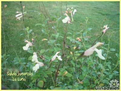 foto Salvia (varieteiten)