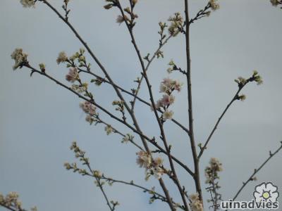 foto Prunus subhirtella 'Autumnalis'
