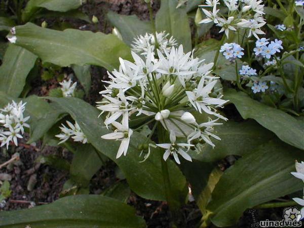 foto Allium ursinum