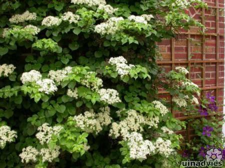 foto Hydrangea anomala subsp. petiolaris