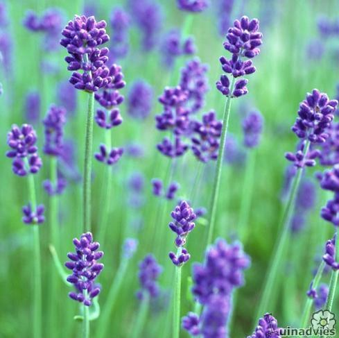 wanneer lavendel snoeien in de tuin en meer tips voor. Black Bedroom Furniture Sets. Home Design Ideas