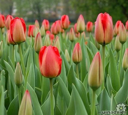 foto Tulipa (algemeen)