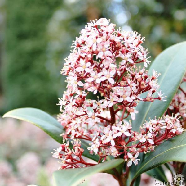 foto Skimmia japonica 'Rubella'