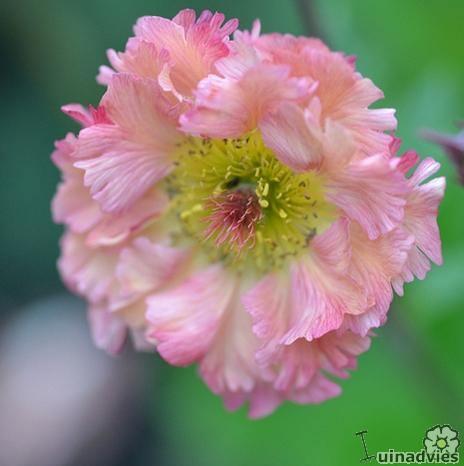 foto Geum 'Mai Tai'