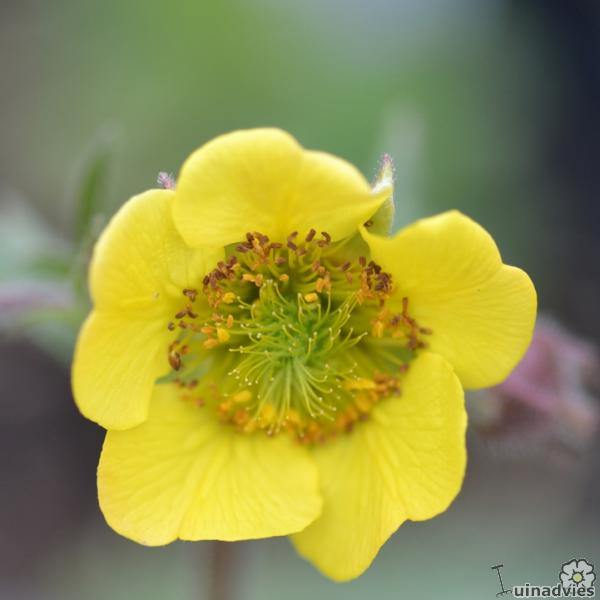 foto Geum 'Lemon Drops'