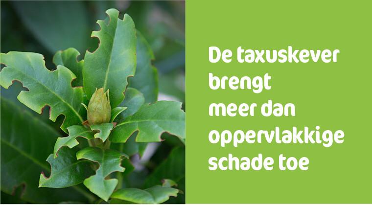 Plantschade door taxuskevers
