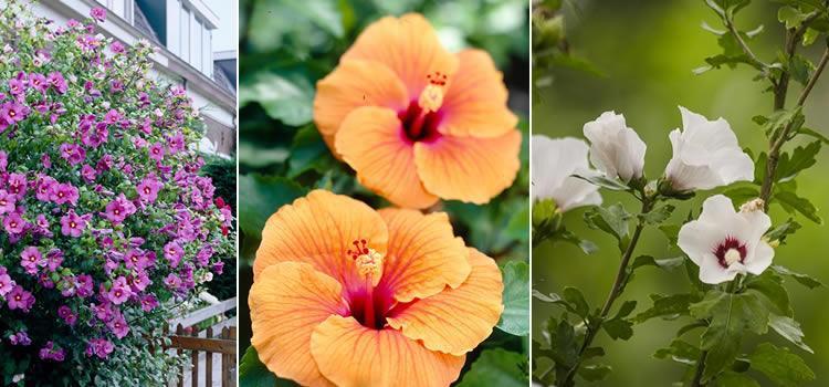 soorten Hibiscus