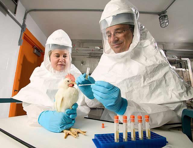 vogelgriep gevaar, influenza A, kippen dood, zieke vogels, aviaire influenze