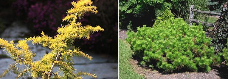 soorten coniferen en kleuren