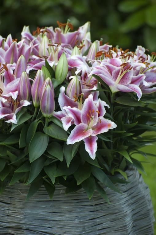 Lelies in de tuin - Ontdek bloembollen