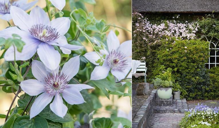 Clematis bloeiende klimplanten