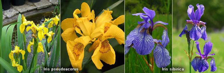 Iris sibirica en Iris pseudoacorus