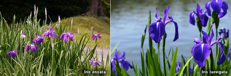 Iris laevigata en Iris ensata