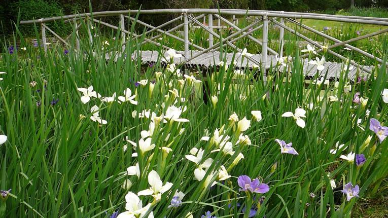 Irissen voor de tuinvijver