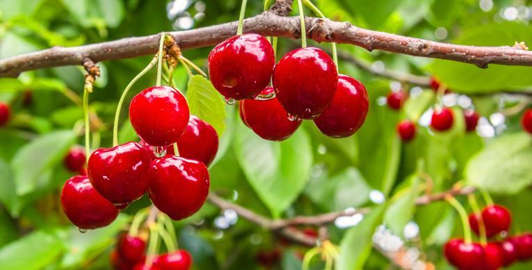 Extreem Bescherm je fruitbomen tegen insecten @ZZ29
