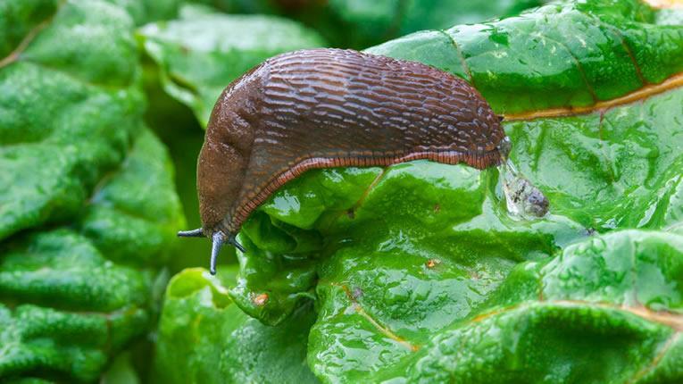 slakken in de tuin op natuurlijke wijze bestrijden