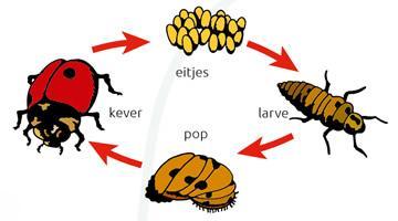 Levenscyclus van de larve van het lieveheersbeestje