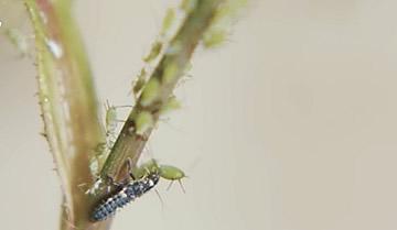 Larve van lieveheersbeestjes tegen bladluizen