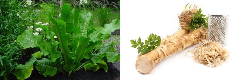 Mierikswortels als imitatie voor echte wasabi