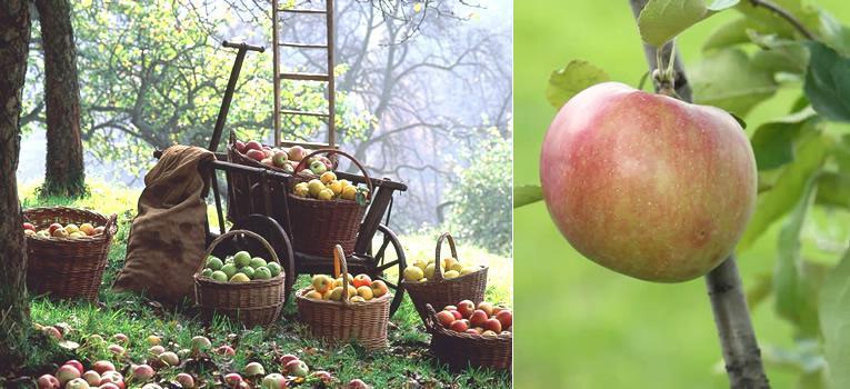 wanneer appels plukken en hoe bewaren