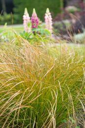 Groenblijvend siergras Carex comans 'Bronze Form'