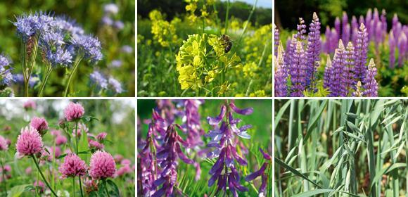 6 verschillende groenbemesters (Phacelia, Alexandrijnse klaver, lupine, gele mosterd, Japanse haver en wikke)
