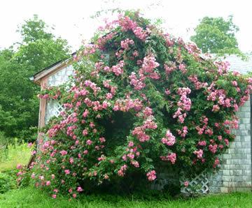 Hoe groot mag een rozenstruik zijn?