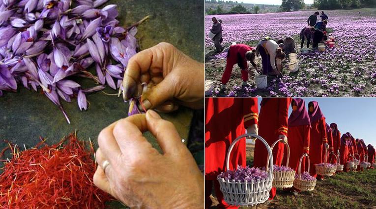 Saffraan kweken en oogsten in Iran
