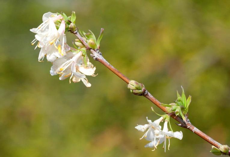 lonicera fragrantissima kopen, winterkamperfoelie