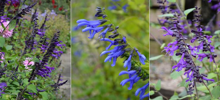 Van links naar rechts: Salvia guaranitica 'Amistad', Salvia guaranitica 'Super Trouper', Salvia 'Amistad'