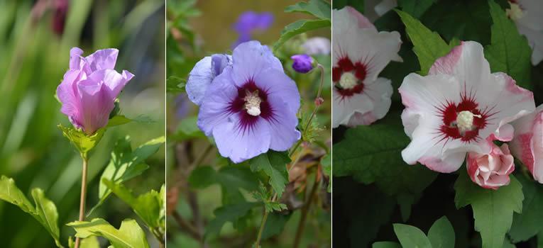 Hibiscus syriacus in knop, Hibiscus syriacus 'Azzurri', Hibiscus syriacus 'Red Heart'