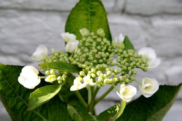 teller hortensia - hortensia bloemen