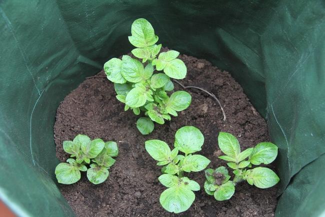 aardappelen kweken - kweekzak voor aandappelen