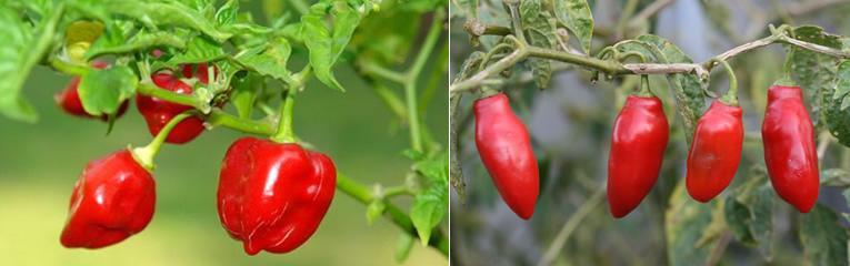 Peper soorten Capsicum pubescens & Capsicum chinese