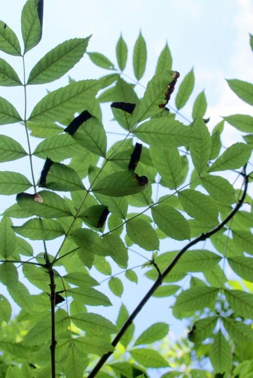 essenbastziekte - fraxinus excelsior in nood