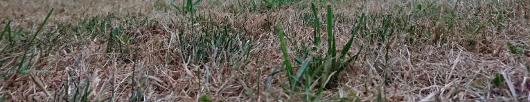 gazon herstellen na de droogte