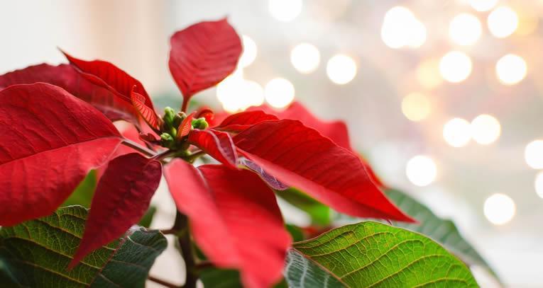 Woonplant van de maand november: Kerstster