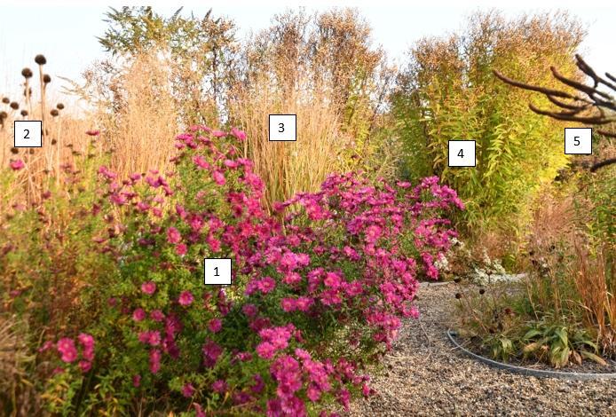Aster Crimson Brocade - asters in de tuin