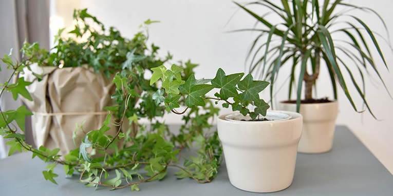klimplanten in de woonkamer, soorten klimplanten, verzorging van klimmende planten, kamerplanten klimmers